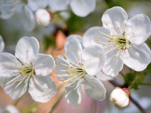 floare-cires-publimedia-shutterstock